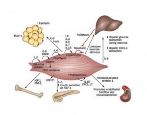 Muscle secretome